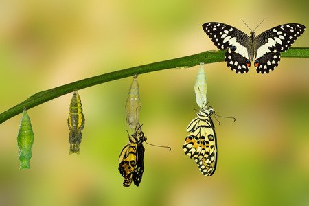 60174986 - transformation of lime butterfly ( papilio demoleus )